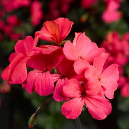 Geranien  Beetgeranien rosa  Calliope LS Rose Imp