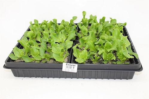 Eissalat 6 Pflanzen
