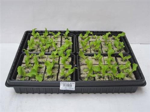 Batavia Salat 6 Pflanzen