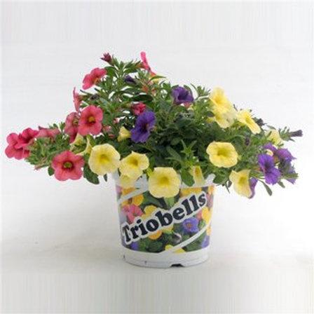 Calibrachoa Triobells Pastel mix in pot P13 H22,5