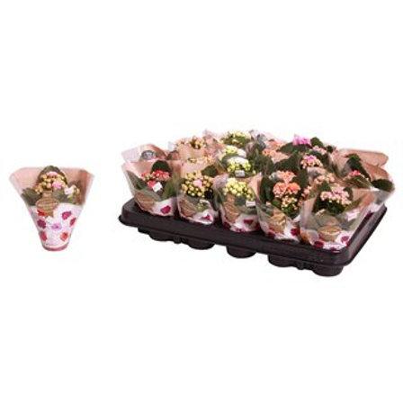 Kalanchoe blossf. Rosalina gemischt 4 Farben P6 H12