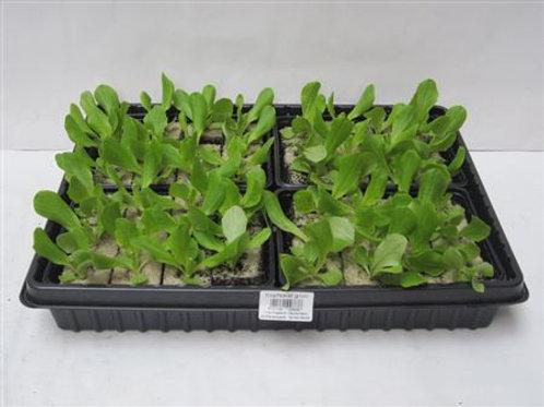Kopfsalat 6 Pflanzen