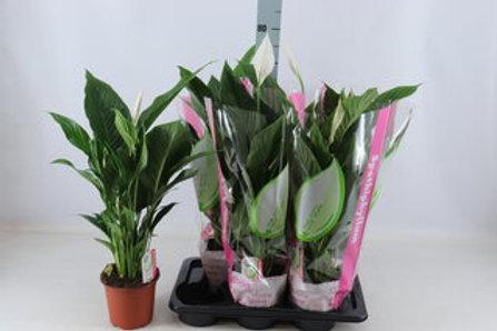 Spathiphyllum Bravo Cupido P17 H65