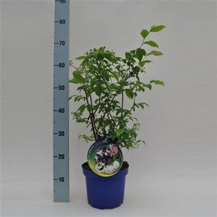 Heidelbeeren Vaccinium Bluecrop P21 H50