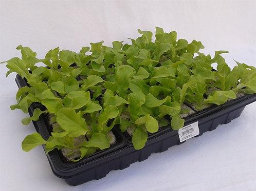 Eichlatt grün 6 Pflanzen