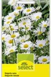 Chrysanthemum maximum Margerite weiss
