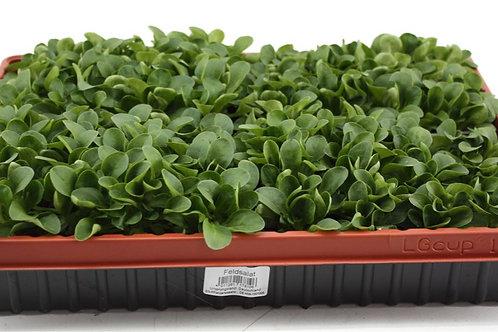 Feldsalat , Nüsslesalat 6 Pflanzen