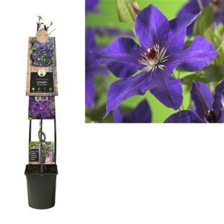 Clematis The President P23 H115