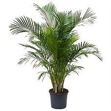 Areca palme 170cm