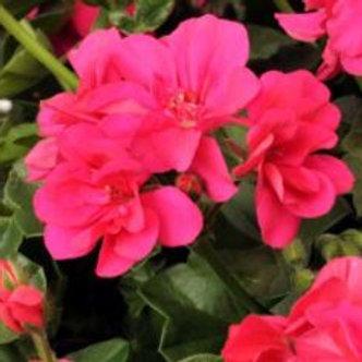Geranium Halbhänger pink   Rocky