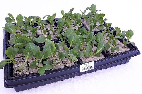 Weisskabis 6 Pflanzen