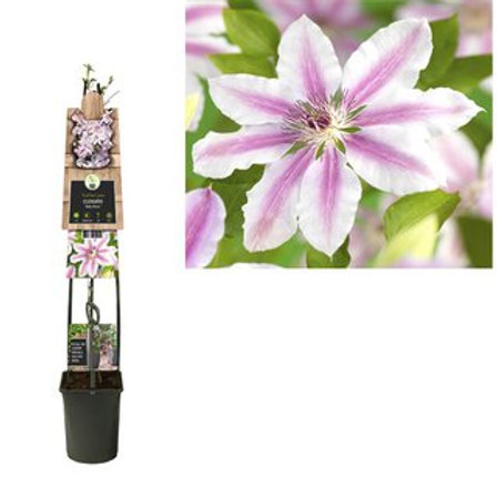 Clematis Nelly Moser P23 H115
