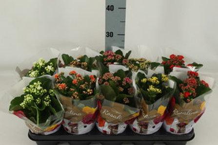 Kalanchoe blossf. Rosalina gemischt 5 Farben P12 H27,5
