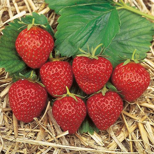 Erdbeeren immertragend Mara de Bois  9er Topf