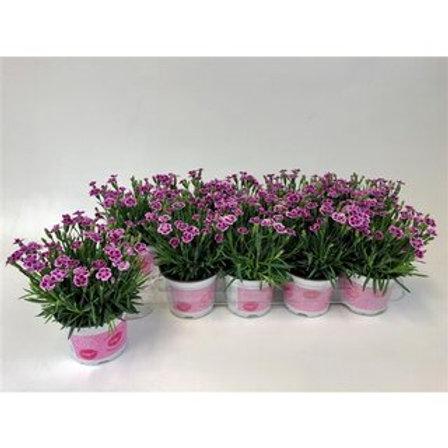 Dianthus Pink Kisses P10,5 H20