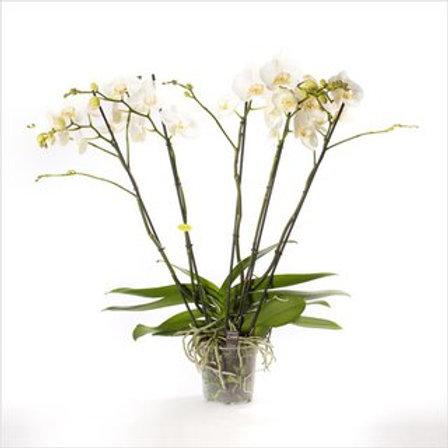 Phalaenopsis Theatro P17 H85