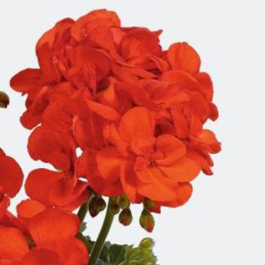 Geranium stehend orange Shocking