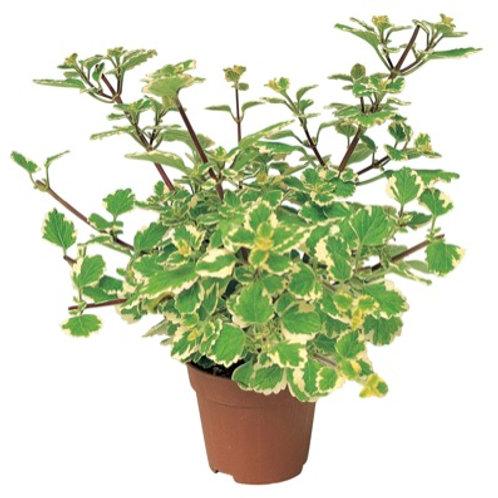 Weihrauchpflanze