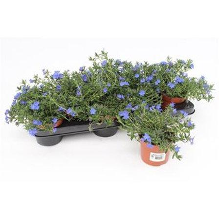 Lithodora diffusa Heavenly Blue P10,5 H17