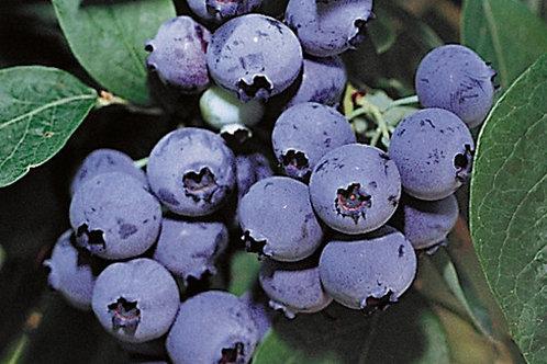 Heidelbeere Bluecorps 23 Topf