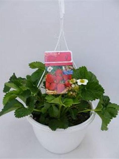 Erdbeer Ampel Elan