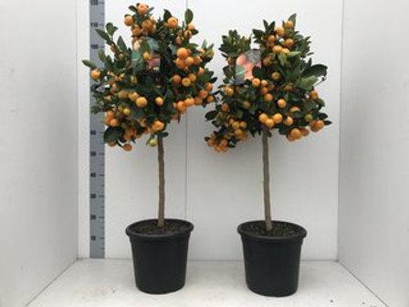 Citrus PPP microcarpa Calamondin P25 H120