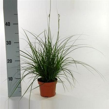 Carex brunnea P12 H25