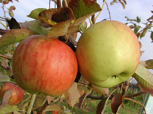 Apfelbaum Topaz Halbstamm