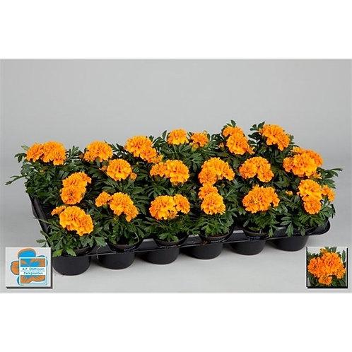 Tagetes  orange P9 H15