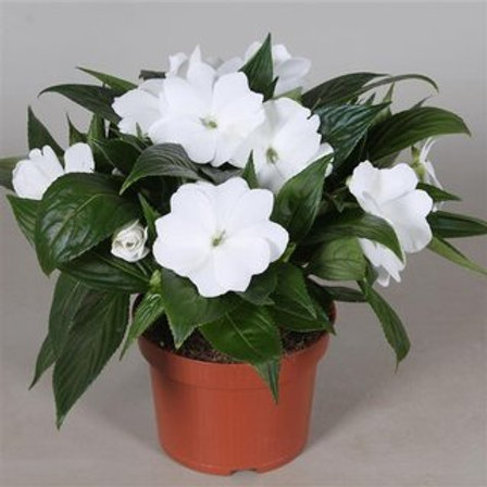 Impatiens new g. Tamarinda White P13 H25
