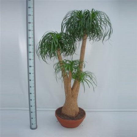 Beaucarnea verzweigt 150cm