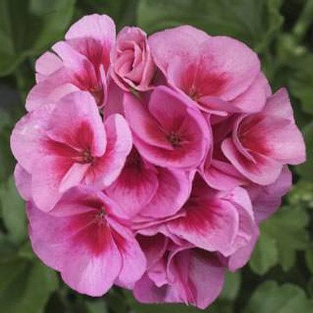 Geranien    rosa  stehend              Am Rose Mega Spalsh