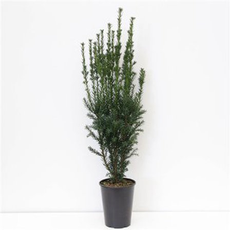 Taxus media Hillii P21 H90