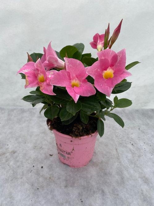 Dipladenia Rio Light Pink P14