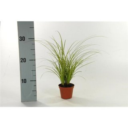 Carex brunnea Variegata P8 H30