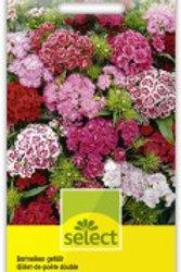 Dianthus barbatus Bartnelken gef. Mischung