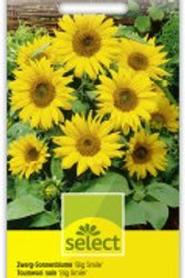 Helianthus 'Big smile' Sonnenblume nieder