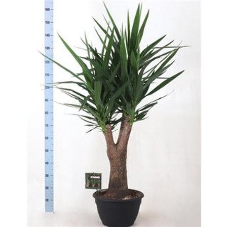 Yucca verzweigt 160cm