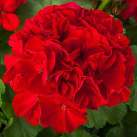 Geranien stehend rot             Calliope Dark Red