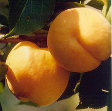 Aprikosen Spalier Hargrand