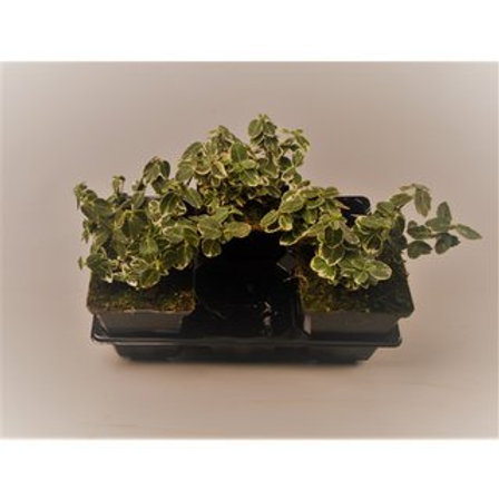 Euonymus fort. Emerald Gaiety P9 H10