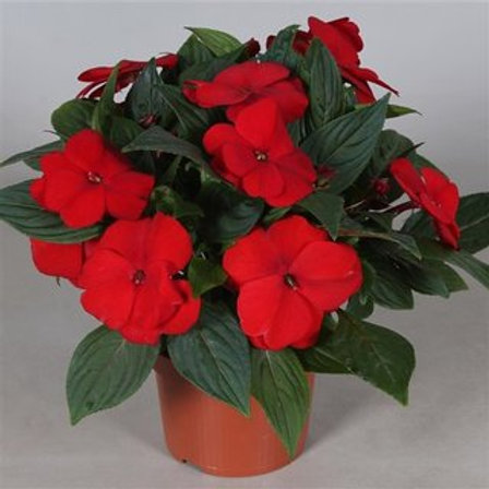 Impatiens new g. Tamarinda Dark Red P13 H25