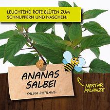 Ananas Salbei