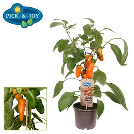 Paprika Snack Pepper orange P14 H45