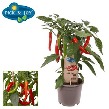 Peper Hot Chilli red P14 H45