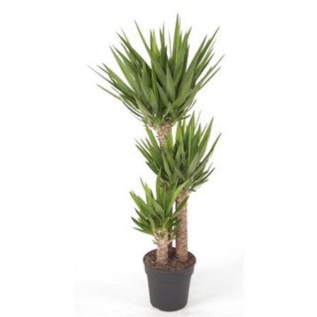 Yucca 3er stamm 140cm
