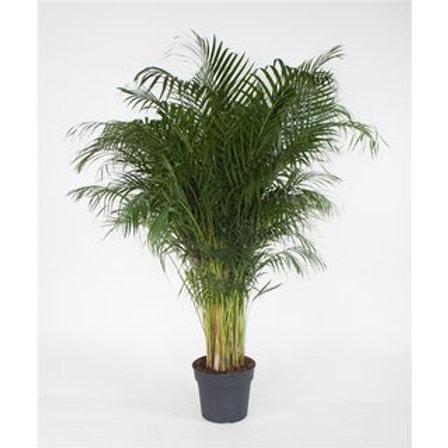 Areca palme 190cm