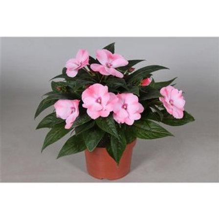 Impatiens new g. Tamarinda Pink P13 H25