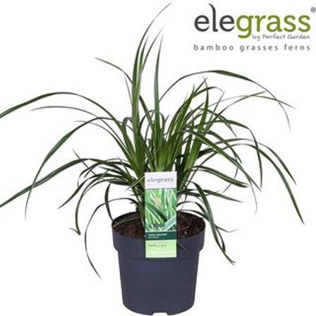 Carex morrowii Ice Dance P14 H30