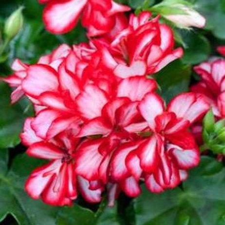 Geranium Halbhänger bicolor      Ruby